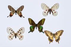 Inzameling van swallowtailvlinders Stock Foto's
