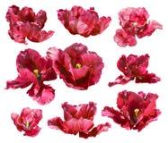 Inzameling van tulpen op witte achtergrond wordt geïsoleerd die. Vectorweg! royalty-vrije stock afbeelding