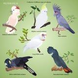 Inzameling van verschillende types van realistische kaketoe stock illustratie