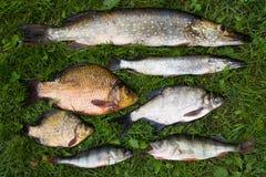 Inzameling van vissen stock foto