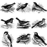 Inzameling van vogelillustraties Royalty-vrije Stock Afbeelding