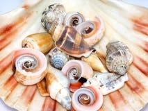 Inzameling van zeeschelpen   Stock Afbeeldingen