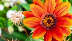 Inzoomen op een rode oranje bloem stock footage
