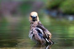Inzuppamento del Hawfinch bagnato in acqua fotografia stock libera da diritti