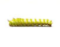 Io ćma Caterpillar Fotografia Stock