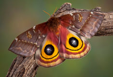 IO Moth Royalty Free Stock Photo