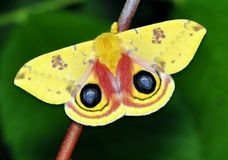 Io Moth (Automeris io) stock images