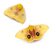 Io Moth Royalty Free Stock Photography