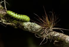 Free Io Moth Caterpillar Stock Images - 155728034