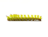 Io Moth Caterpillar Stock Photography