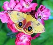IO Moth at Garden Roses Royalty Free Stock Images