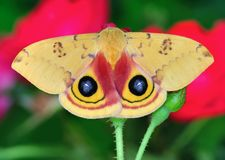 IO Moth On A Rose Stock Photo