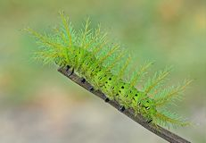 Io-Motte Caterpillar Stockbilder