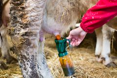 Iodine disinfection of udder before milking. Close up of young farmer girl`s hand holding iodine bottle on cow`s udder for disinfection before milking Stock Photos
