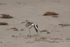 Ioga de Willet foto de stock royalty free