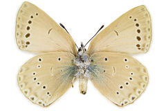 Iolana iolas (Iolas Blue). Ventral view of Iolana iolas (Iolas Blue) butterfly isolated on white background royalty free stock photo