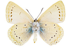 Iolana iolas (Iolas Blue). Ventral view of Iolana iolas (Iolas Blue) butterfly isolated on white background stock images