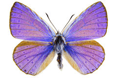 Iolana iolas (Iolas Blue). Dorsal view of Iolana iolas (Iolas Blue) butterfly isolated on white background stock photo