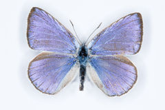 Iolas blue; iolana iolas,  isolated on white Stock Photo