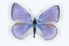 Iolasblauw; iolanaiolas, die op wit wordt geïsoleerd Stock Foto