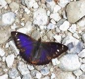 Iole dell'iride del Apatura/imperatore viola Fotografie Stock