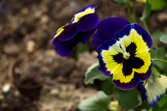 Iona Pansy Stock Images