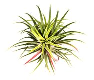 Ionantha do Tillandsia isolado no fundo branco Foto de Stock Royalty Free