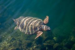 Sea turtle Caretta Caretta in The Bay of Argostoli on Greek island Kefalonia stock photos