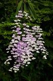 Ionopsis Orchidee Lizenzfreie Stockfotografie