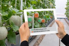 Iot smart farming, agriculture industry 4.0 technology concept, farmer hold the tablet to use augmented mixed virtual reality soft. Ware Artificial intelligence royalty free stock photos
