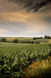 Iowa corn. Field in july under a stormy, cloudy sky stock photography