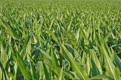 Iowa Cornfield Full Screen. Using moderate depth of field and before tasseling Royalty Free Stock Photo