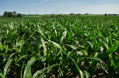 Iowa Cornfield Stock Photography