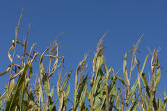 Iowa Cornfields. A field of corn in early September, ready for harvest Stock Photos