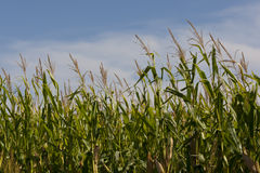 Iowa Cornfields Arkivfoton