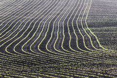 Iowa Cornfields Royalty Free Stock Images