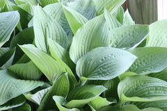 Iowa  Hosta. Photo of a Spring Hosta in Iowa Stock Images