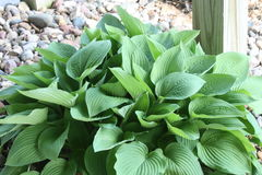 Iowa  Hosta. Photo of a Spring Hosta in Iowa Royalty Free Stock Photography