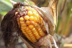 Iowa kukurudza w Wczesnym Październiku Fotografia Royalty Free