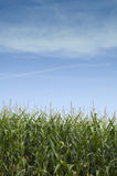 iowa kukurydzani badyle Zdjęcia Royalty Free