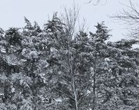 Iowa vintersnö på träden Arkivfoto