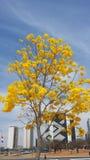 Ipê kolor żółty fotografia stock