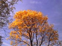 Ipe żółtej natury tropikalny kwiat Zdjęcie Royalty Free