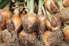 Ripe onion bulbs on the field Royalty Free Stock Photography