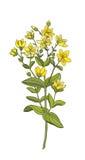 Iperico medicinale dei fiori e delle erbe Immagini Stock