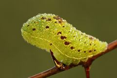 iphiclides幼虫podalirius缺乏swallowtail 免版税库存照片