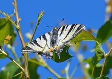 iphiclides λιγοστό swallowtail podalirius Στοκ Εικόνα