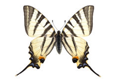 Iphiclides podalirius royalty free stock photography