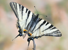 Iphiclides podalirius Royalty Free Stock Photos
