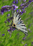 Iphiclides podalirius butterfly on lavender Royalty Free Stock Photos